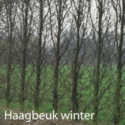 haagbeuk-winter.jpg